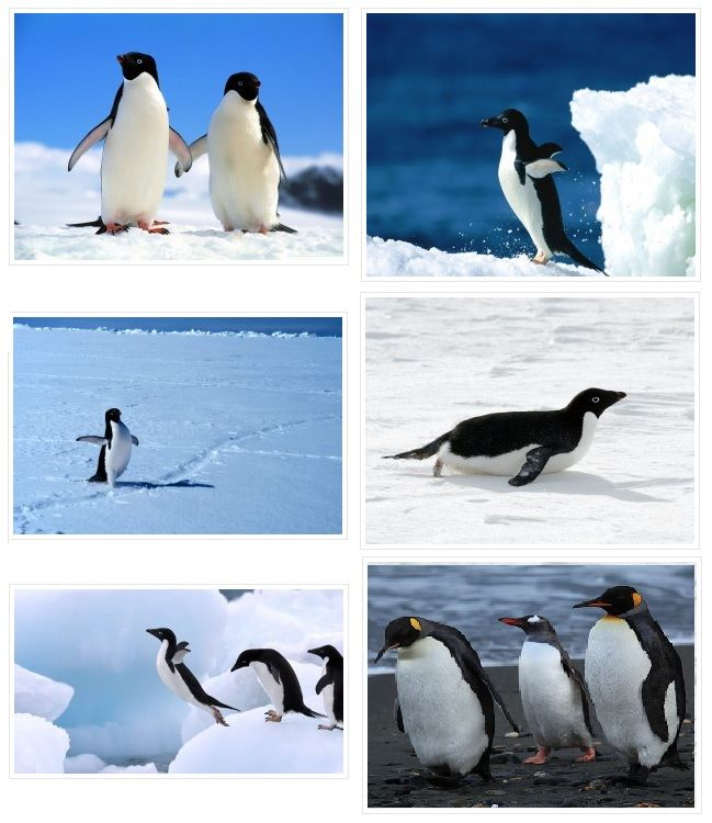 fotos de pinguins